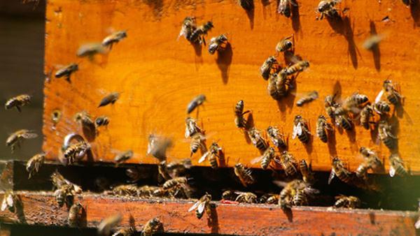 Ekologisk biodling