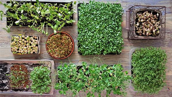 Odla inomhus - näringstäta gröna skott